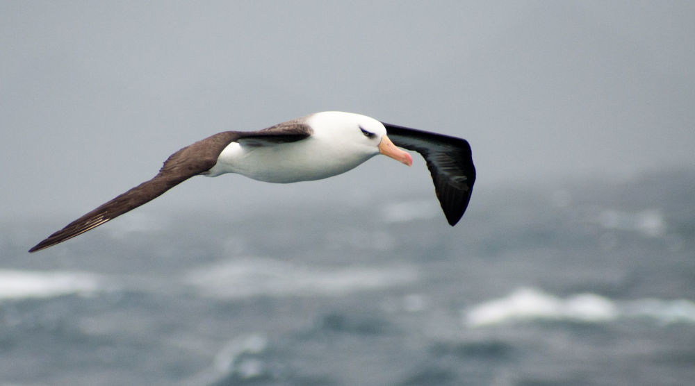 Isolamento e introspezione - Un albatros in volo